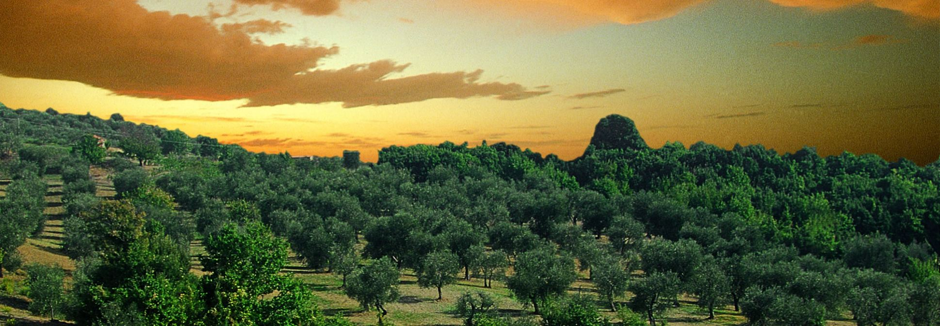 Tuscan hills with olive trees panorama